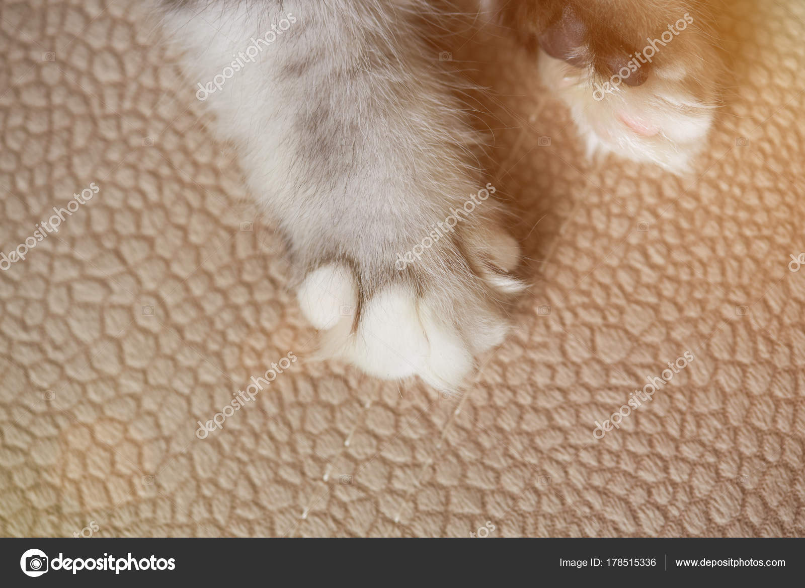 Cat paw on carpet close-up. Macro of kitty paw with white claw — Photo by dimarik