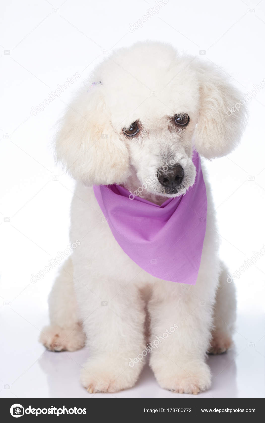 Phenomenal Cute Poodle Hairstyles Sitting Cute White Poodle Dog Stock Natural Hairstyles Runnerswayorg