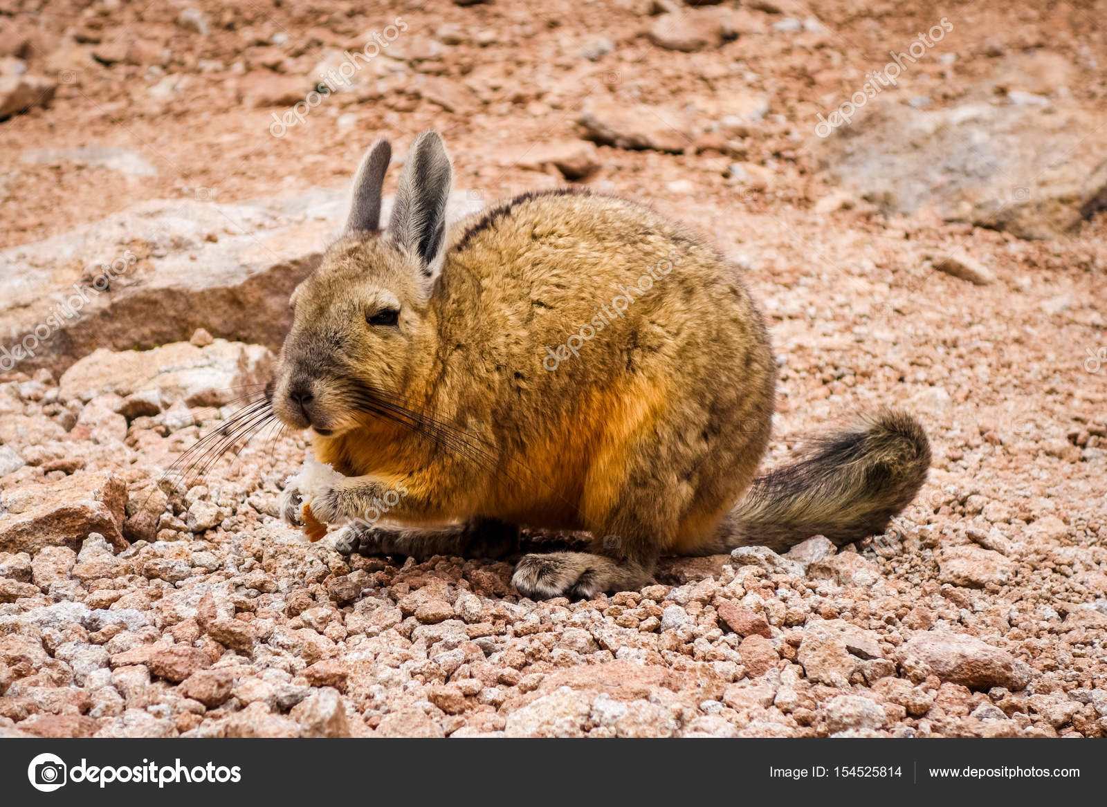 Áˆ Chinchilla Pic Stock Photos Royalty Free Viscacha Images Download On Depositphotos