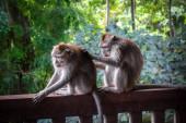 Photo Monkeys in the Monkey Forest, Ubud, Bali, Indonesia