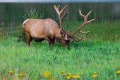 Bull elk krmení ve vysoké trávě. Jasper, Alberta, Kanada
