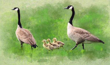 Geese Family Watercolor Painting