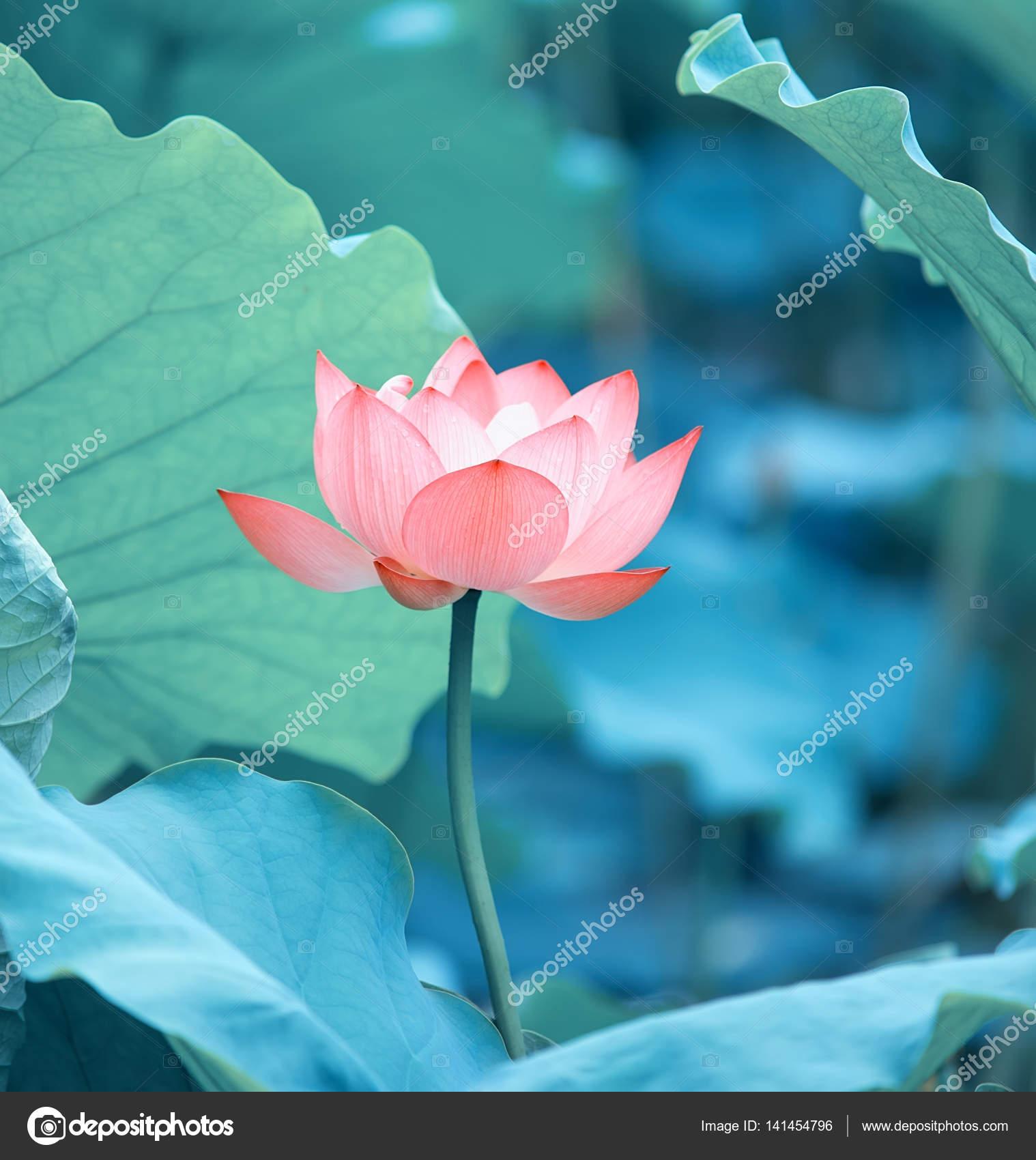 Lotus Flower And Lotus Flower Plants Stock Photo Firefox 141454796