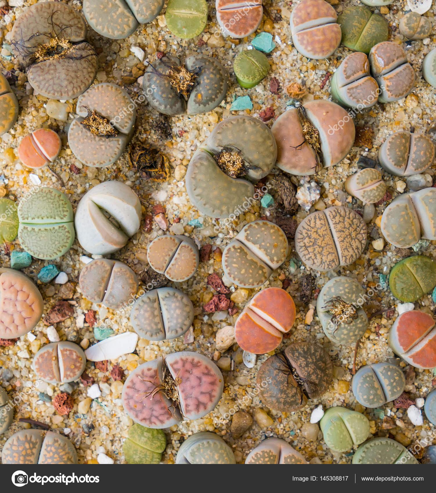 Lithops (lebende Stein), Kaktus — Stockfoto © firefox #145308817