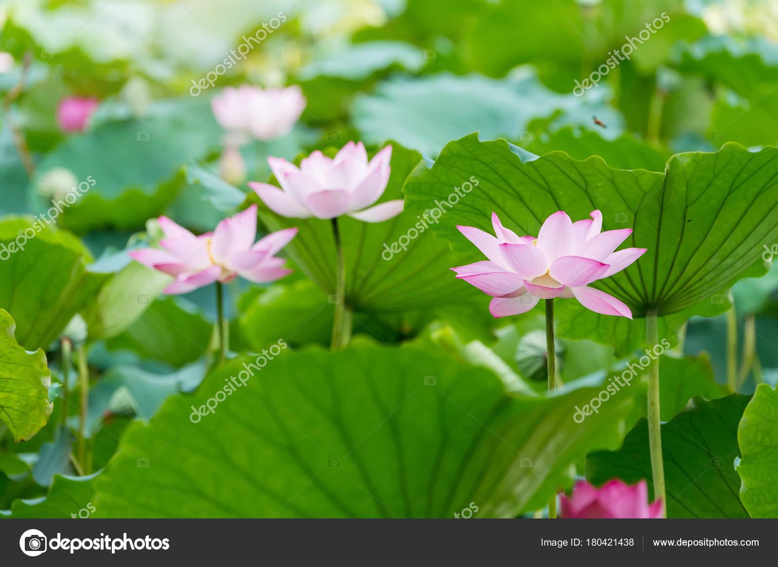 Lotus Flower Plants Garden Pond Stock Photo Firefox 180421438