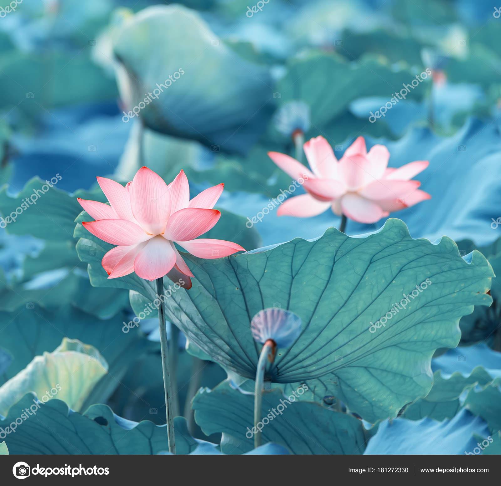 Lotus Flower Plants Garden Pond Stock Photo Firefox 181272330