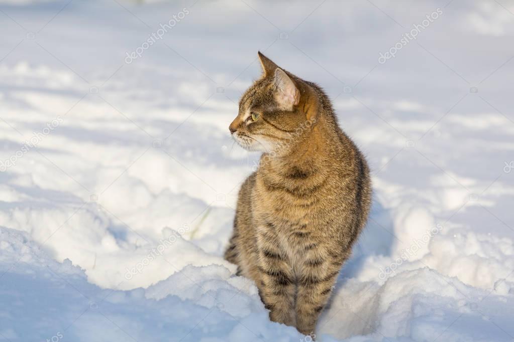 beautiful cat in snow