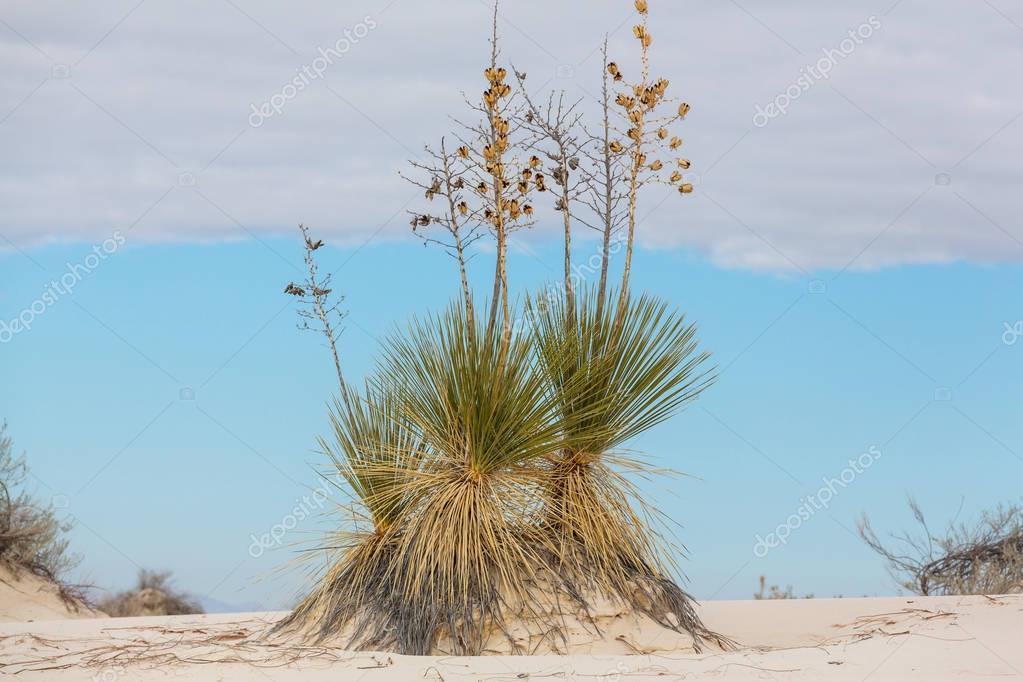Soaptree yucca (Yucca elata)
