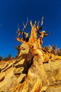 Ancient Bristlecone Pine Tree