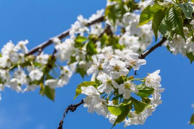 Flowers of the tree blossoming