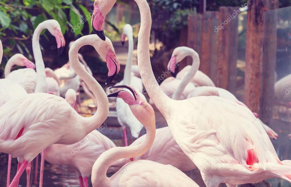 Flamingo birds in Bolivia