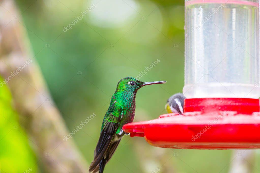 Colorful Hummingbird in Costa Rica, Central America