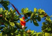 Zelená okřídlený papoušek Ara v přírodě, Kostarika, Střední Amerika