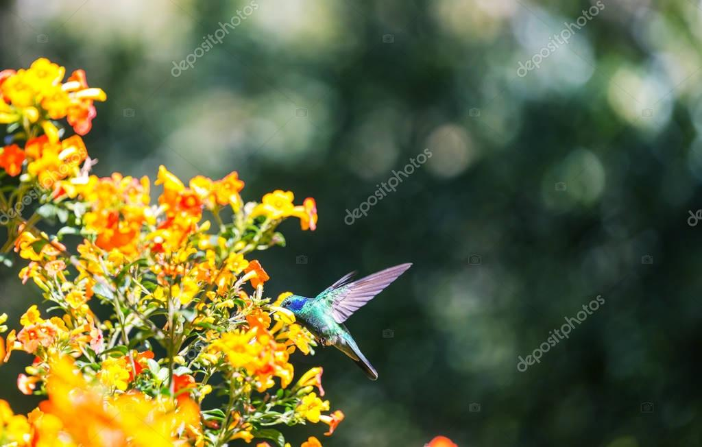 Colorful Hummingbird in Costa Rica, Central America