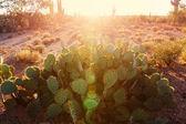 Národní Park Saguaro přírodní krajina