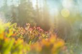 Fotografie Horská louka v slunečný den. Přírodní letní krajina. Hory na Aljašce.