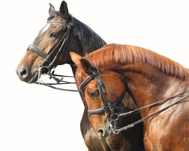 Portrait of two brown horses isolated on white