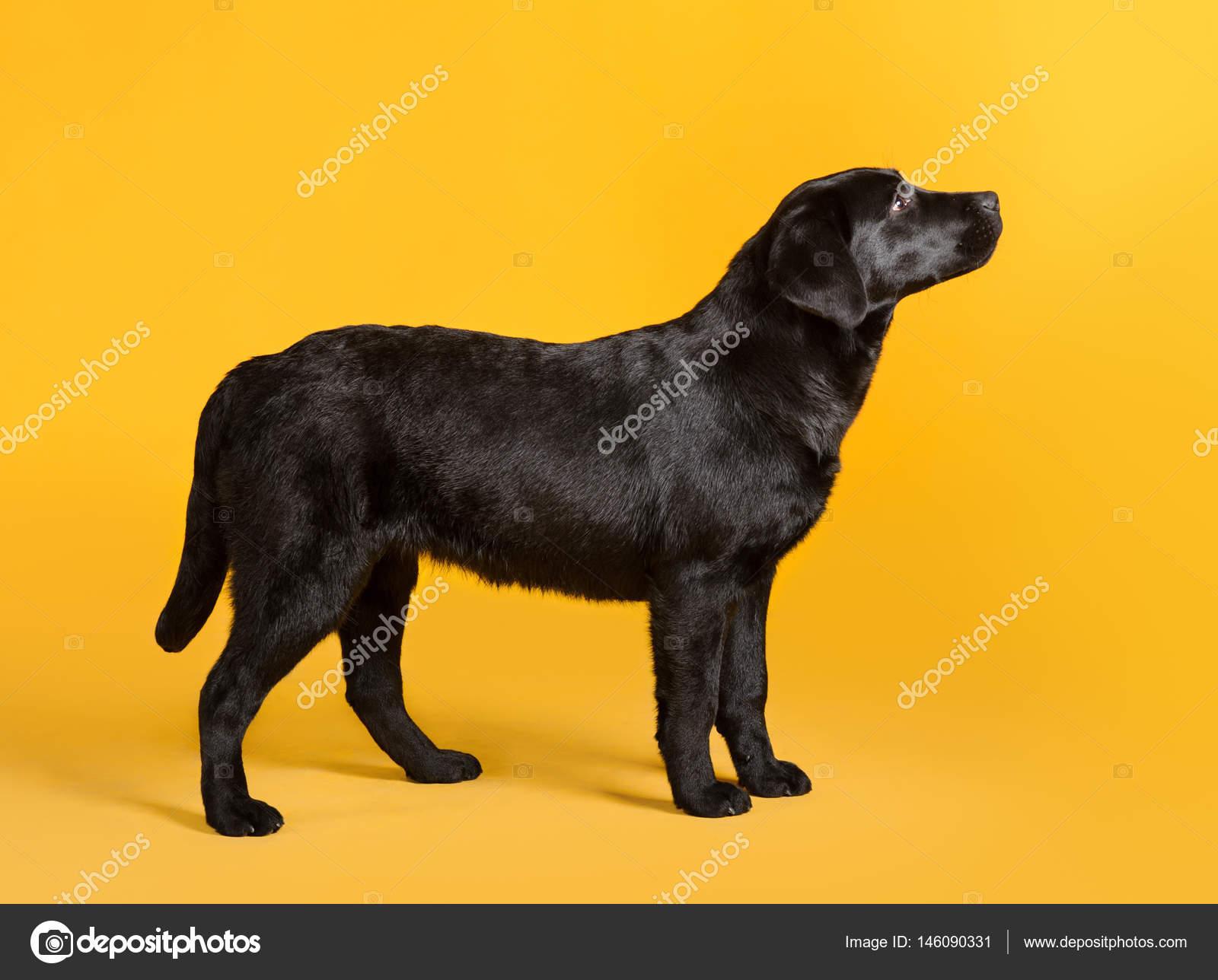 Perro Golden Retriever Cachorro Negro Perro Negro Perro Perdiguero