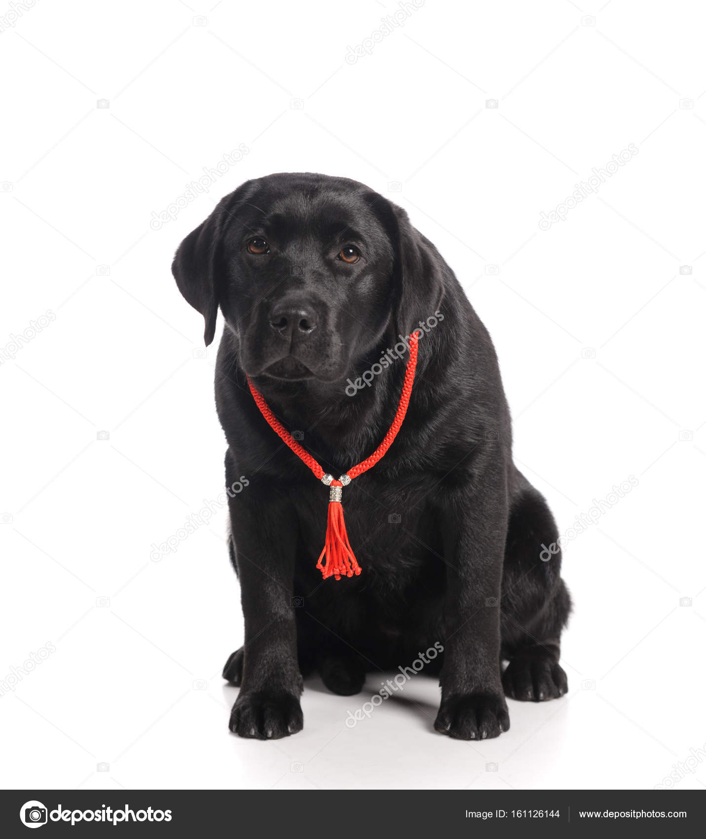 Fotos Perro Golden Retriever Negro Perro Negro Perro Perdiguero