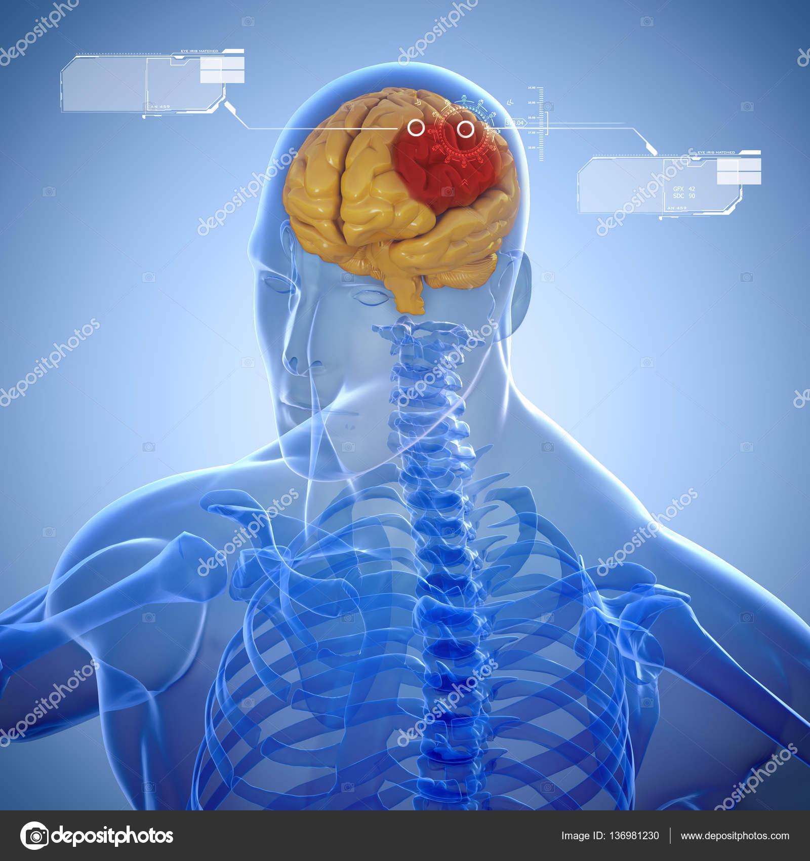 3D Skelett und Gehirn-scan — Stockfoto © digitalgenetics #136981230