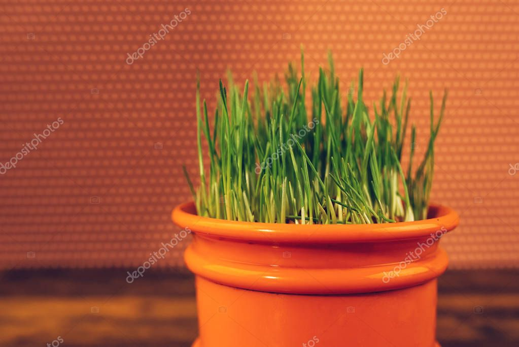 Fresh green wheat grass in plastic pot