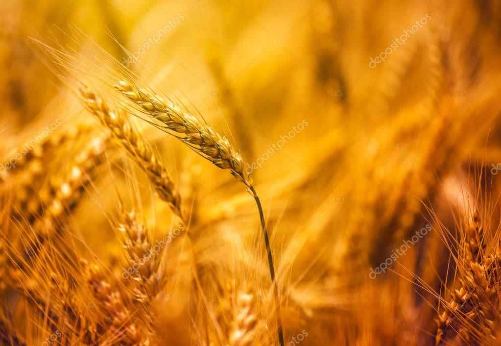 Harvest ready triticale in field