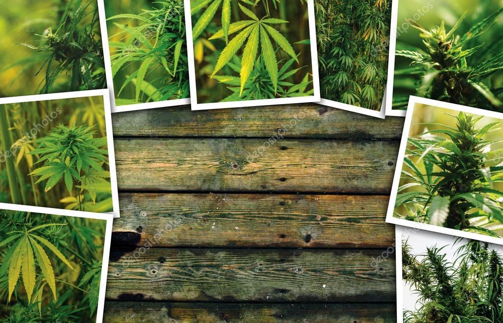 Marijuana growth on plantation, photo collage
