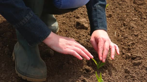 Coltivatore femminile esame crescita di germogli di mais del cereale del semenzale
