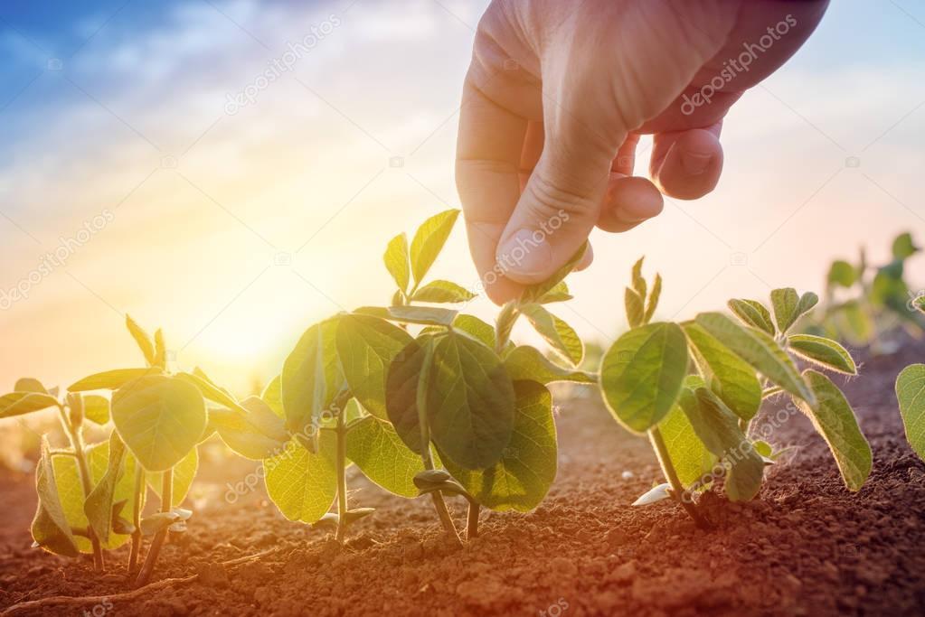Farmer working in soybean field in morning