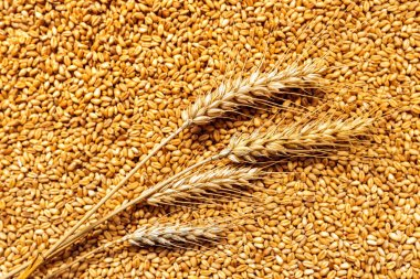 Wheat ears and grains after harvest
