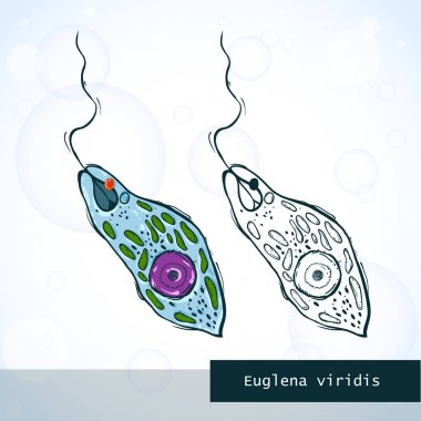 Microorganism Euglena in sketch style, structure