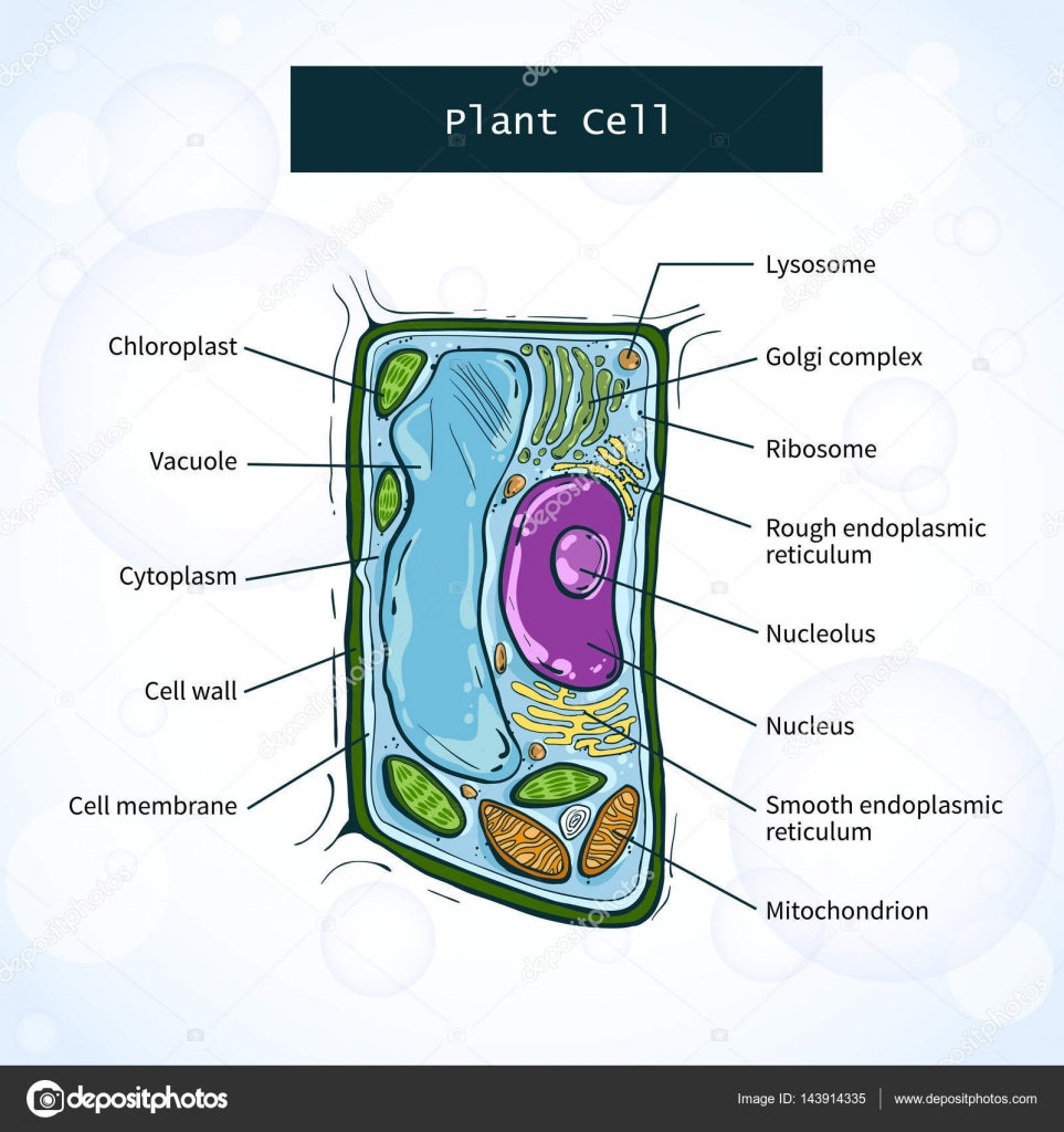 Structure Of Plant Cell Stock Vector Aglia83 143914335 And Organelles Animal Diagram