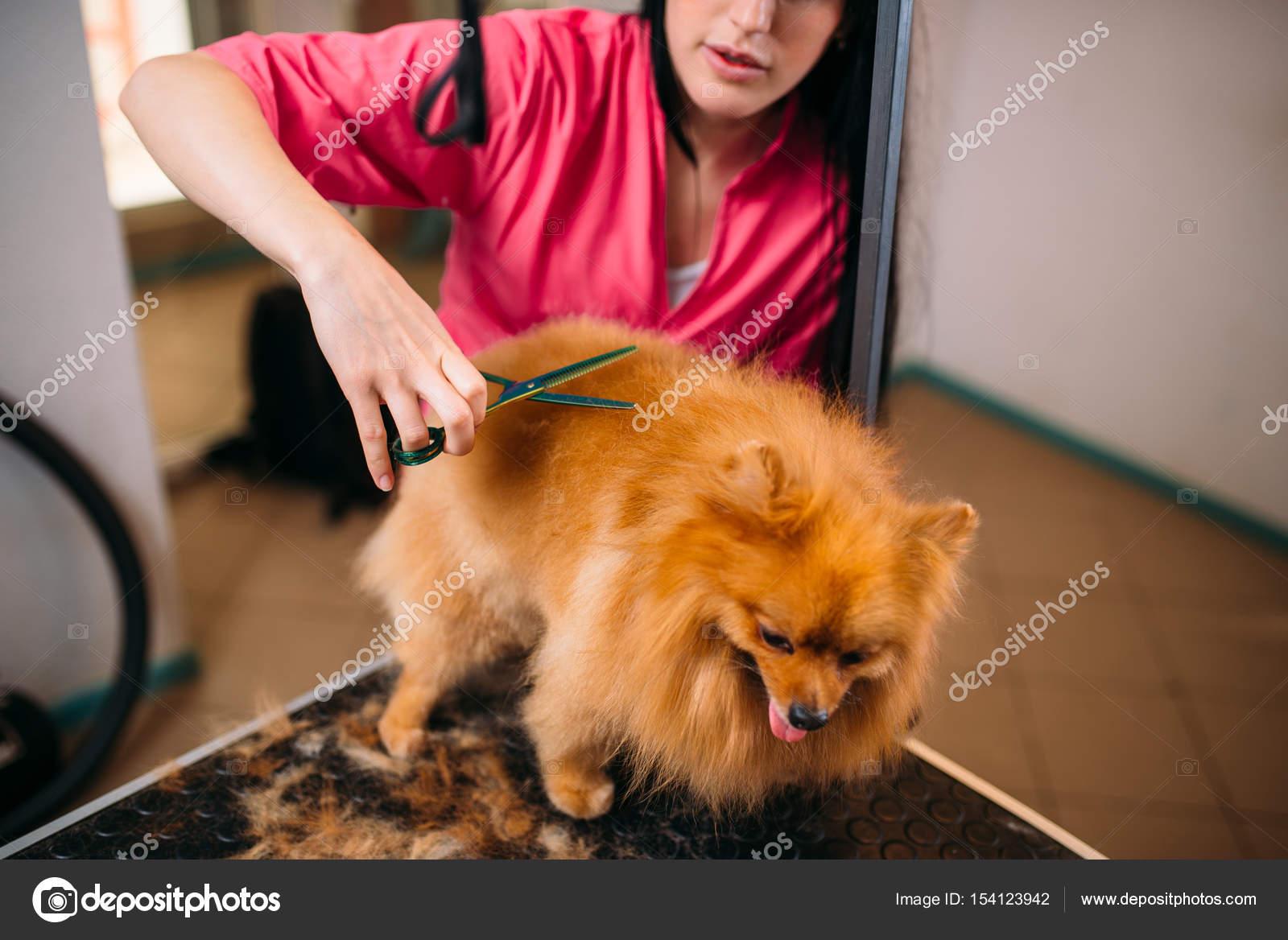 Groomer Strzyżenia Włosów Małego Psa Zdjęcie Stockowe Nomadsoul1