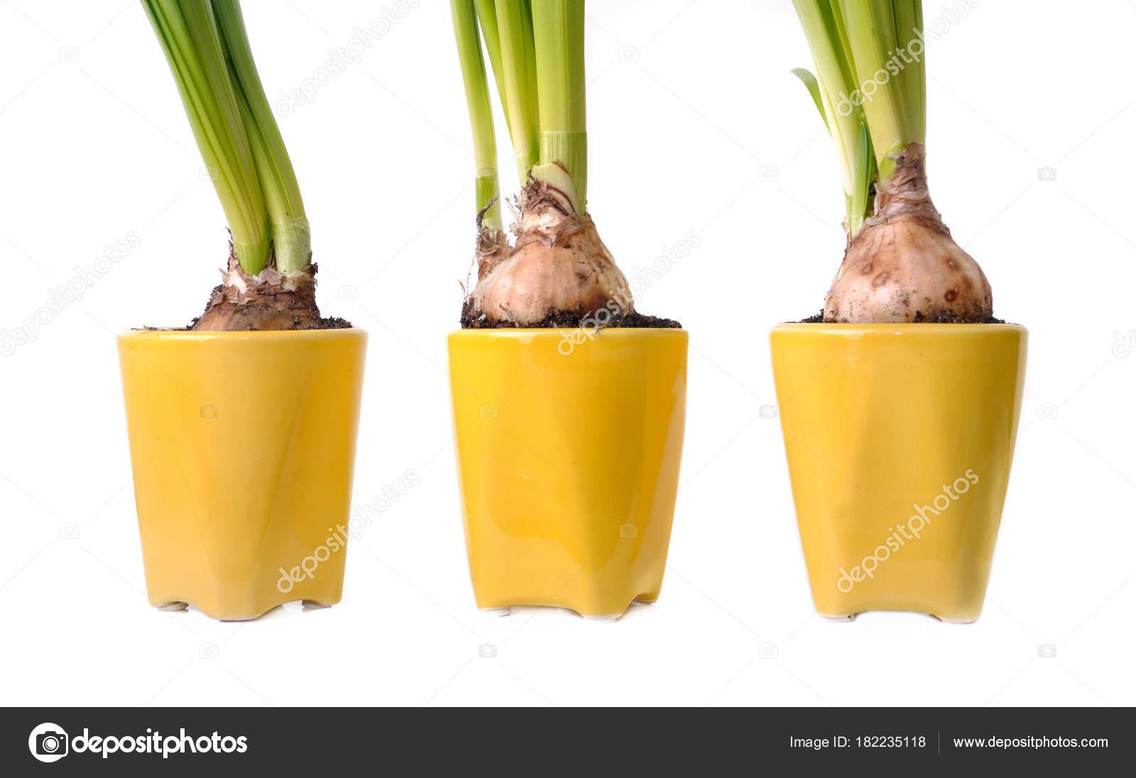 bulbos de narcisos en maceta Fotos de Stock sanddebeautheil