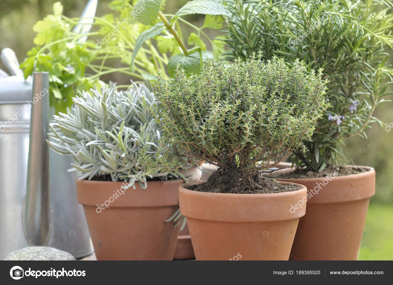 Plantas aromaticas de jardin excellent imagen with for Plantas aromaticas jardin