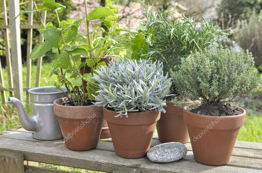 Fotos plantas aromaticas plantas arom ticas en maceta - Plantas aromaticas jardin ...