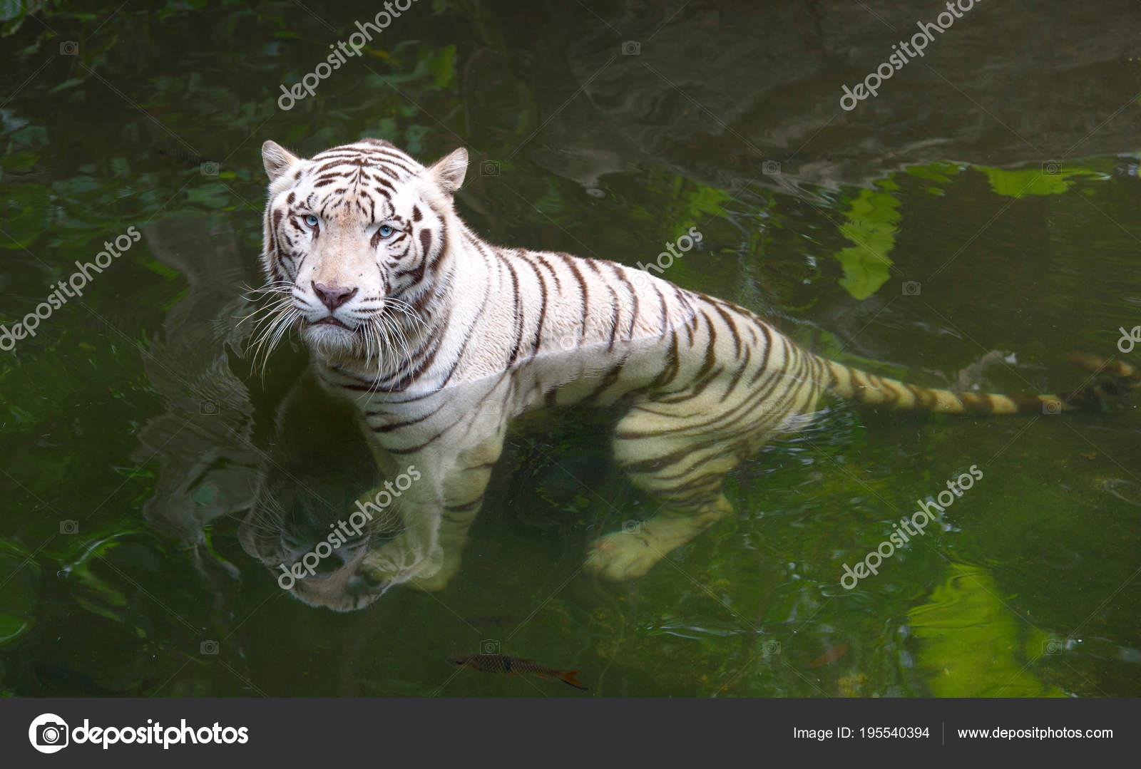 2 709 Tiger Blue Eyes Stock Photos Free Royalty Free Tiger Blue Eyes Images Depositphotos