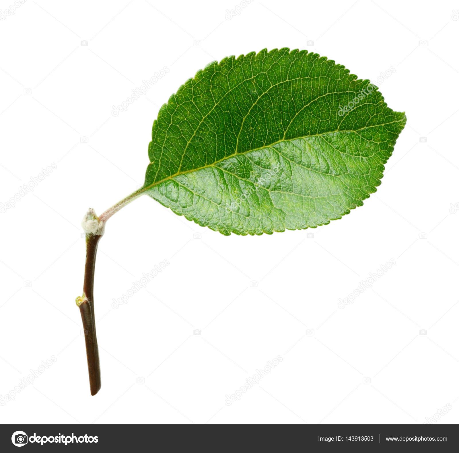Frisches Apfelblatt isoliert auf weißem Hintergrund mit