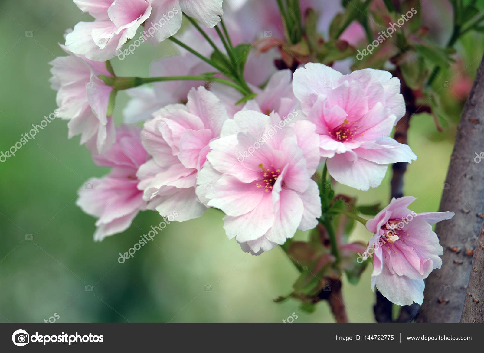 Beautiful Flowers Plums Stock Photo Melektaus 144722775