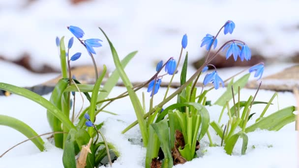 spring blooming bluebell flowers in the snow