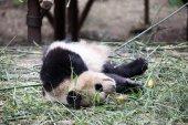 Panda v parku