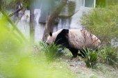 Photo lovely giant panda in zoo