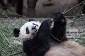 lovely giant panda in zoo
