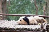 Cute panda in zoo