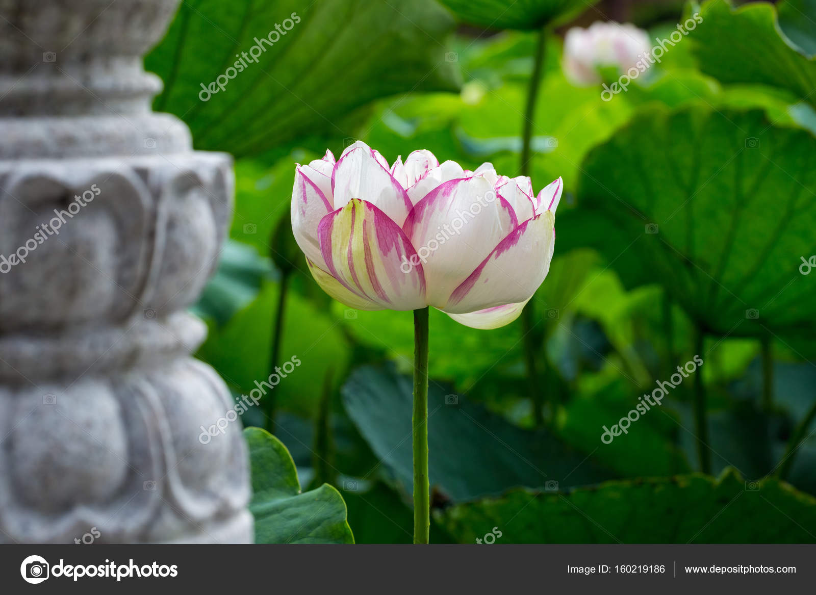 Buddha lotus flower stock photo chungking 160219186 beautiful lotus flower in full bloom is the symbol of the buddha photo by chungking mightylinksfo