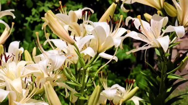 krásná zahrada Lily květiny v parku na záhonu