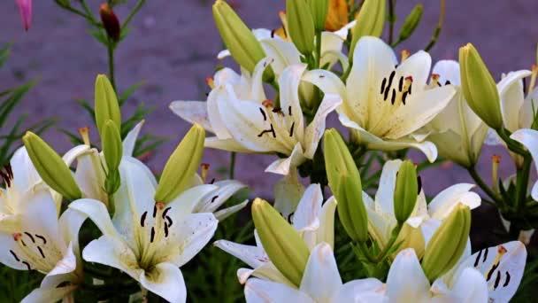 schöne Gartenblumen Lilie auf dem Rasen als Dekoration der Landschaft