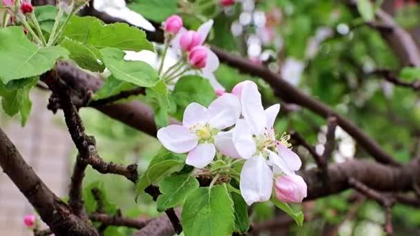 jemné a jasné jarní květy na jabloních větvích