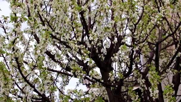 jasné čerstvé bílé květy na větvích zahradního stromu třešeň