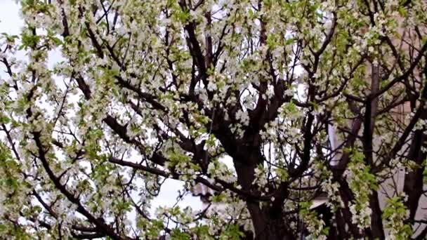 krásné bílé květy na větvích zahradního stromu třešeň
